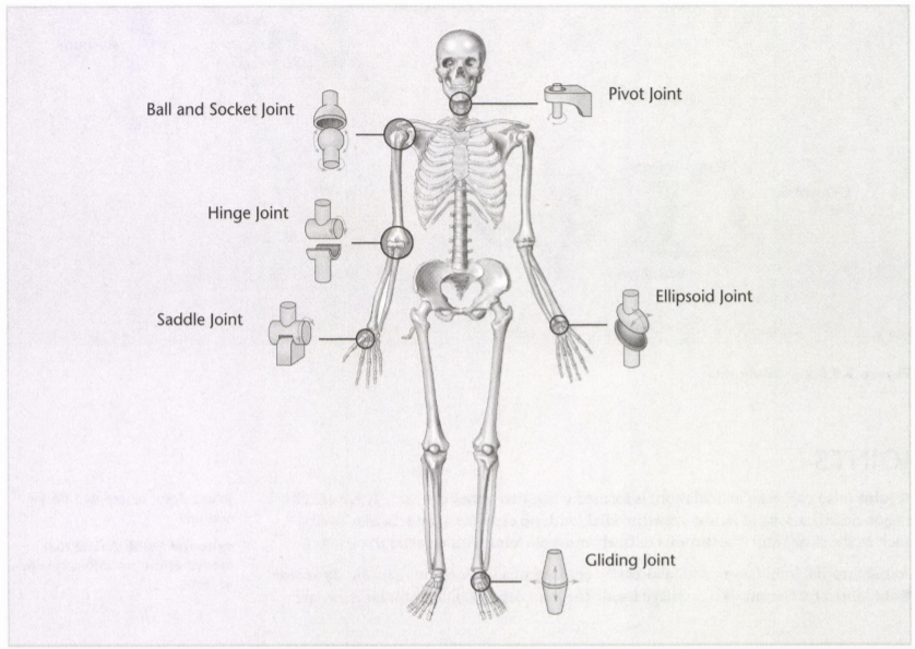 ISSA Unit 3 - Musculoskeletal anatomy and physiology 2