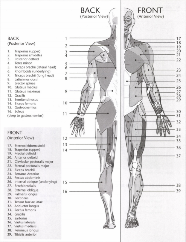 ISSA Unit 3 - Musculoskeletal anatomy and physiology 4