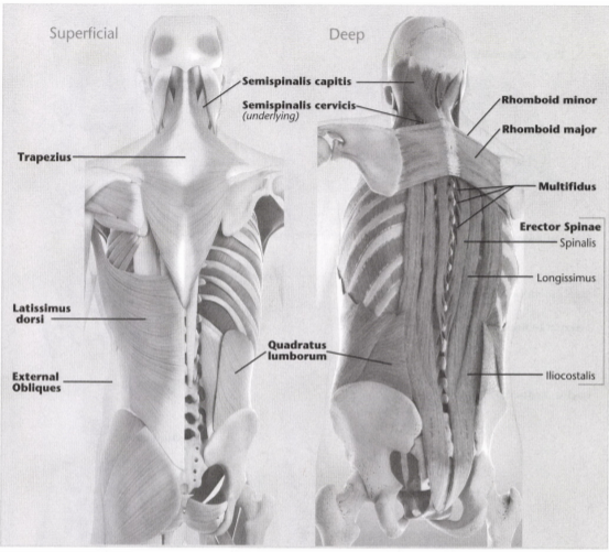 ISSA Unit 3 - Musculoskeletal anatomy and physiology 7