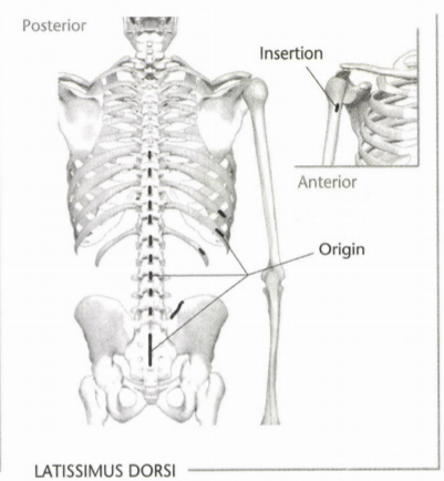 ISSA Unit 3 - Musculoskeletal anatomy and physiology 13